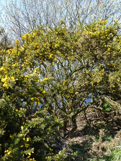 gorse + willow