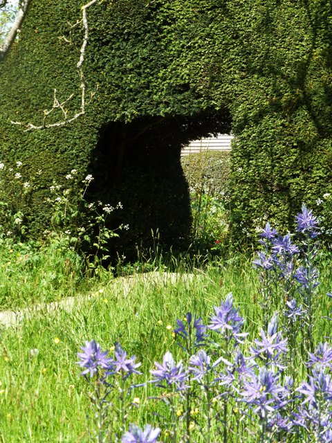 8 camassias + yew hedge