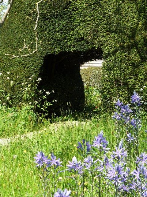 8 camassias + yew hedge