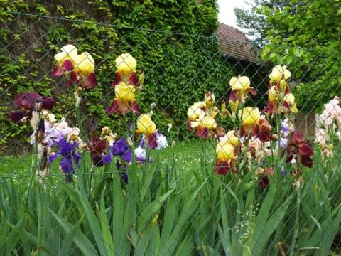 2 iris