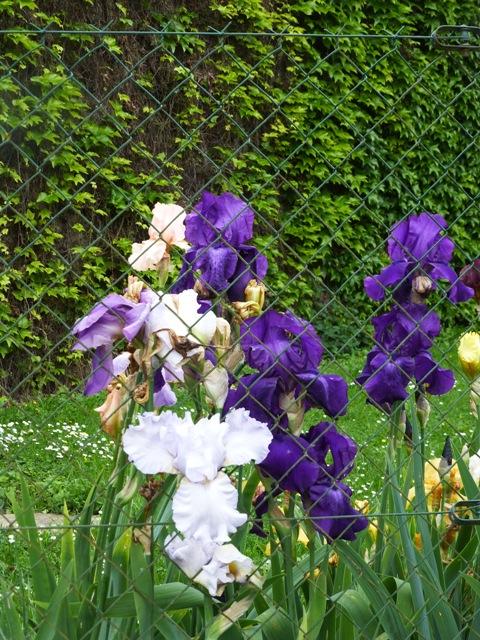 4 iris