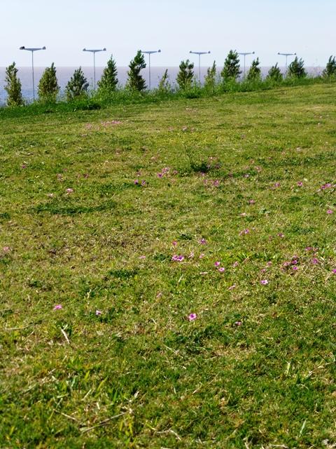 geranium sanguineum meadow