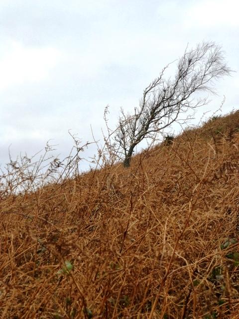 scrub oak leaning