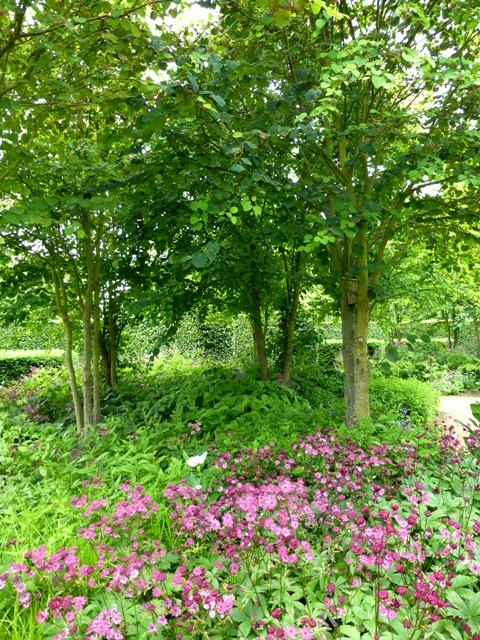 katsura grove astrantia claret,geranium rose claire