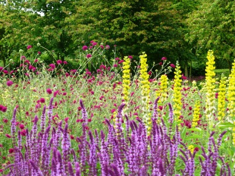 perennial meadow, knautia, salvia + thermopsis10
