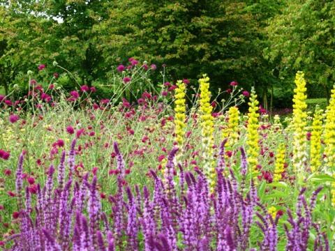 perennial meadow, knautia, salvia + thermopsis10