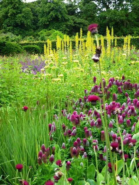 perennial meadow, trifolium rubens, phlomos, thermopsis9