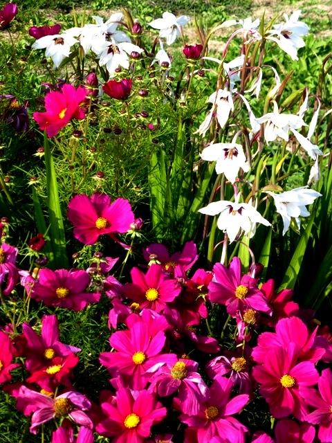 cosmos + gladiolus murieliae