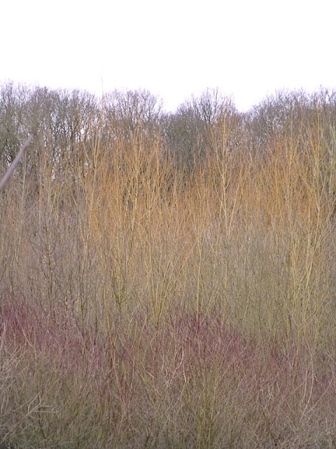 dogwoods + willows