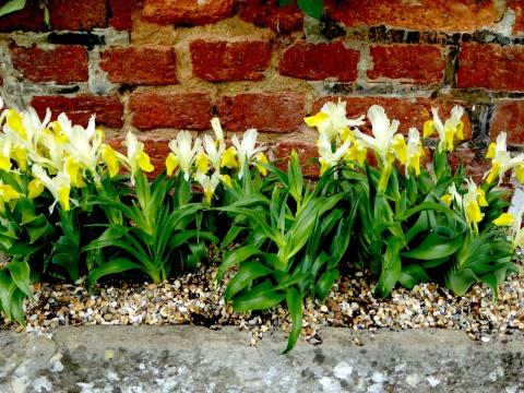 iris bakeriana