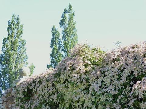 clematis montana marjorie