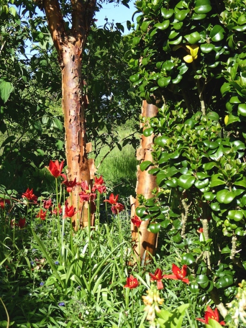 tulip sprengeri + acer stem cottage garden