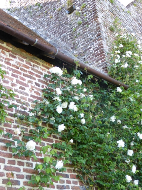 white garden rose sissinghurst