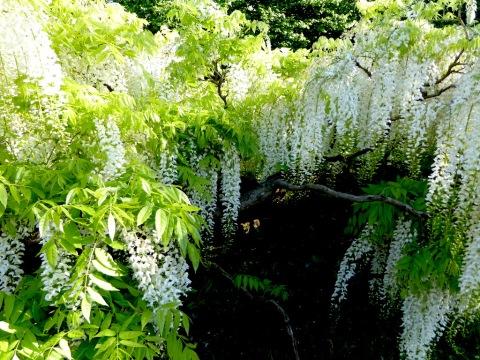 wisteria floribunda alab sissinghurst