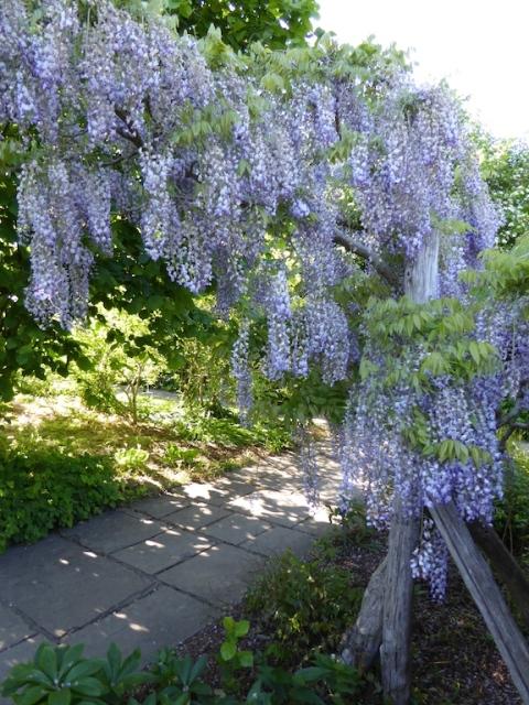 wisteria sinensis sissinghurst