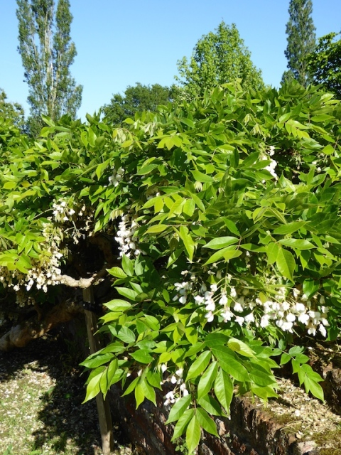 wisteria venusta
