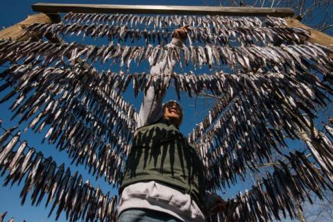 A Nisga'a woman hangs eulachon on a ganee'e, or air-drying rack. PHOTO: PAUL COLANGELO
