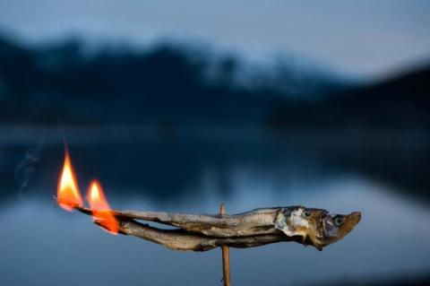 Also known as candlefish, eulachon (Thaleichthys pacificus) are so oily that they can ignite when dried. Traditionally, eulachon were used at times as lights by Nisga'a people.  PHOTO:  PAUL COLANGELO