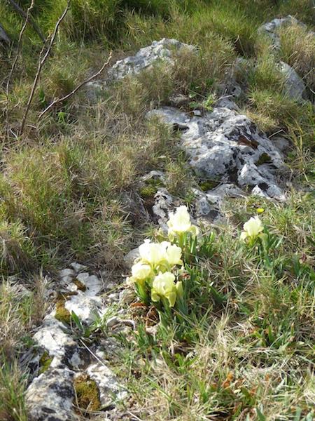 iris pumila in stones