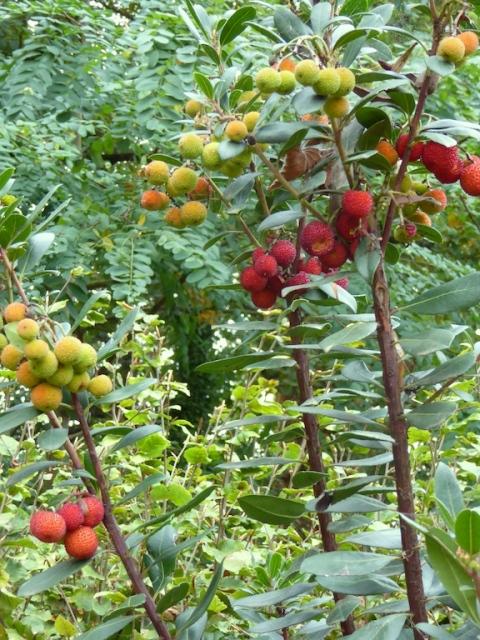 le jardin du tein arbutus