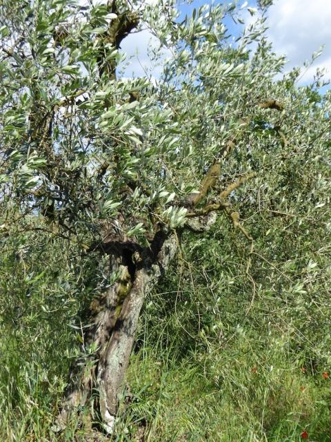 olive old copy