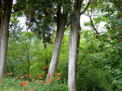poppies cupressus copy