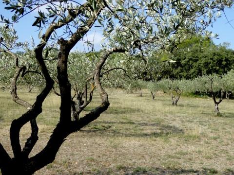 olives-pont-du-gard