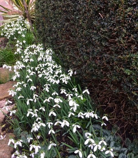 galanthus-s-arnott-by-cat-garden