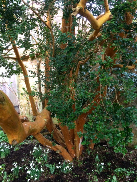 myrtus-wall-garden