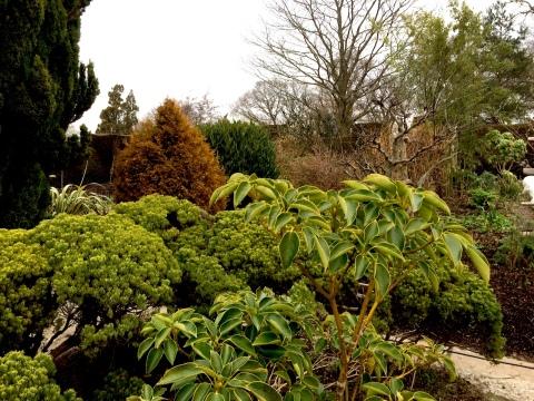 trochodendron-high-garden